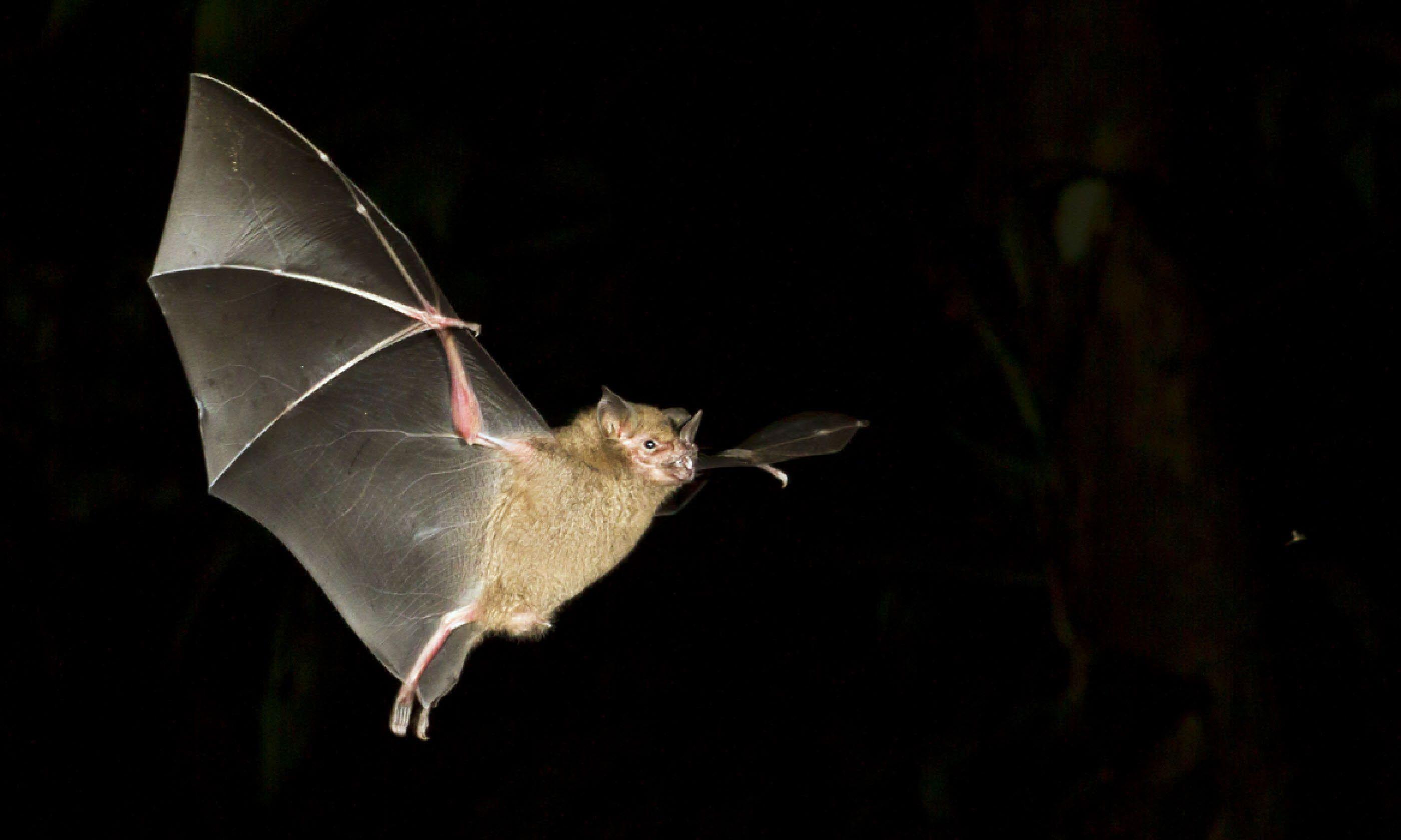 Fruit bat, Tortuguero (Shutterstock)