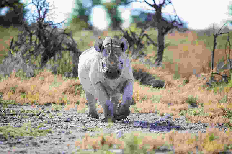 Black rhinos in Namibia (Shutterstock)
