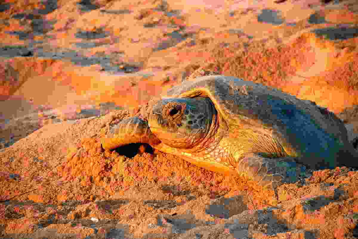 Turtle watching, Ras Al Jinz, Oman (Shutterstock)