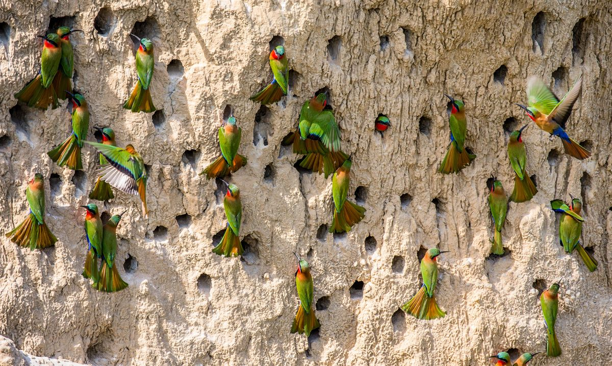 Red-throated bee-eaters nest in Uganda's riverbanks (Shutterstock)