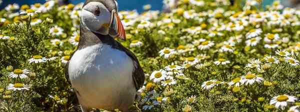 Puffins on Skomer Island, Wales (Shutterstock)