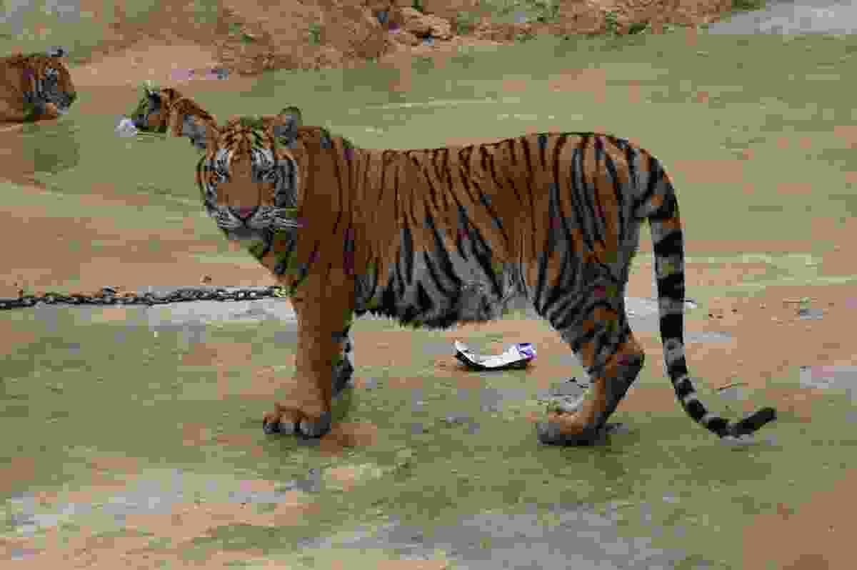 A tiger attraction in Thailand (Dreamstime)