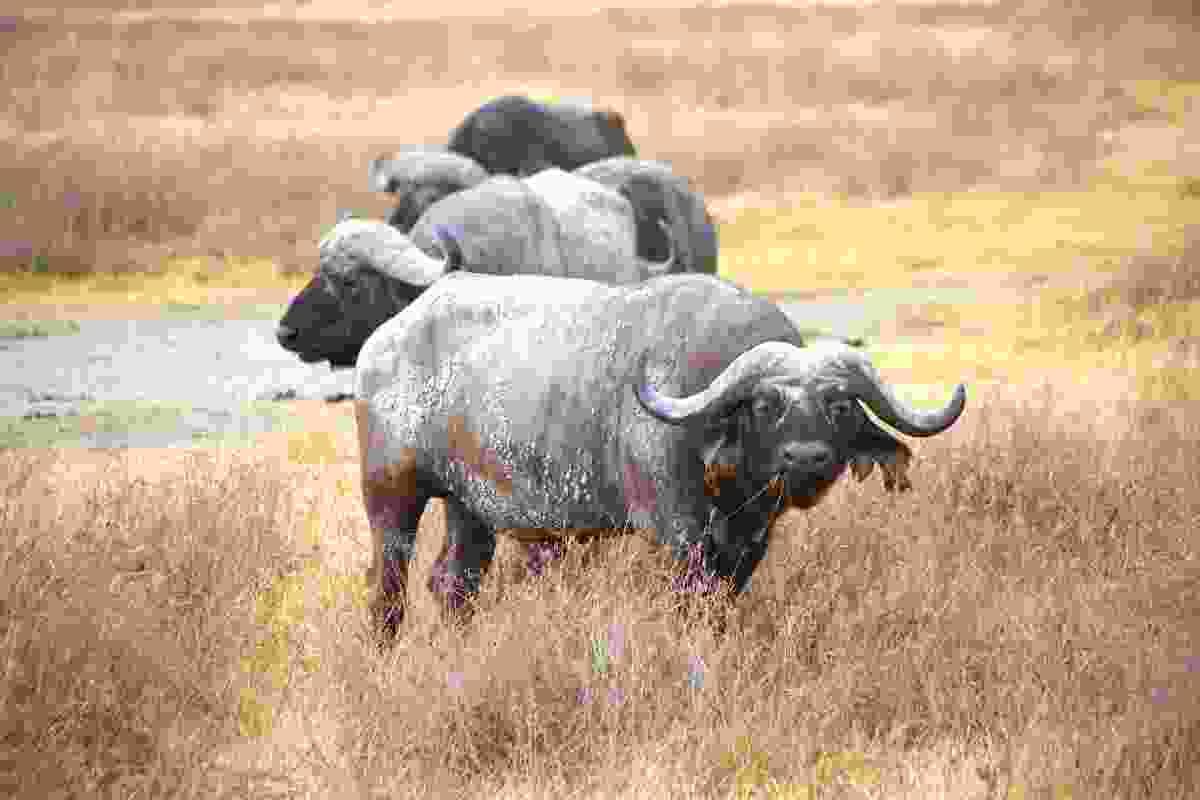Water buffalo in the Ngorongoro Crater (Graeme Green)