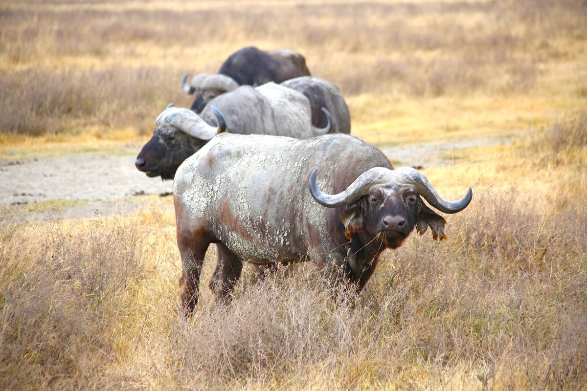 Water buffalo in the Ngorongoro Crater (Graeme Green)