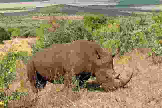 A rhino roams the Ol Chorro Conservancy in the Masai Mara, Kenya (Graeme Green)