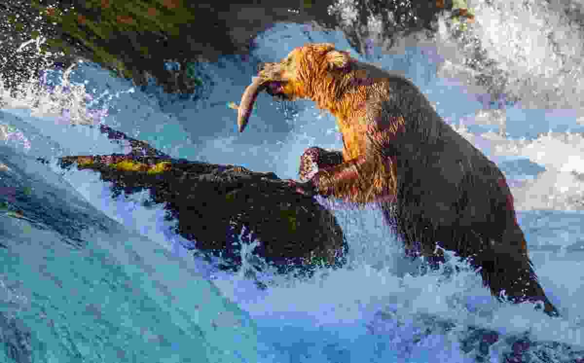 Brown bear fishing for salmon in Alaska (Dreamstime)