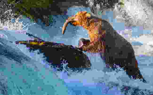 Brown bear fishing for salmon in Alaska (Dreamstime)