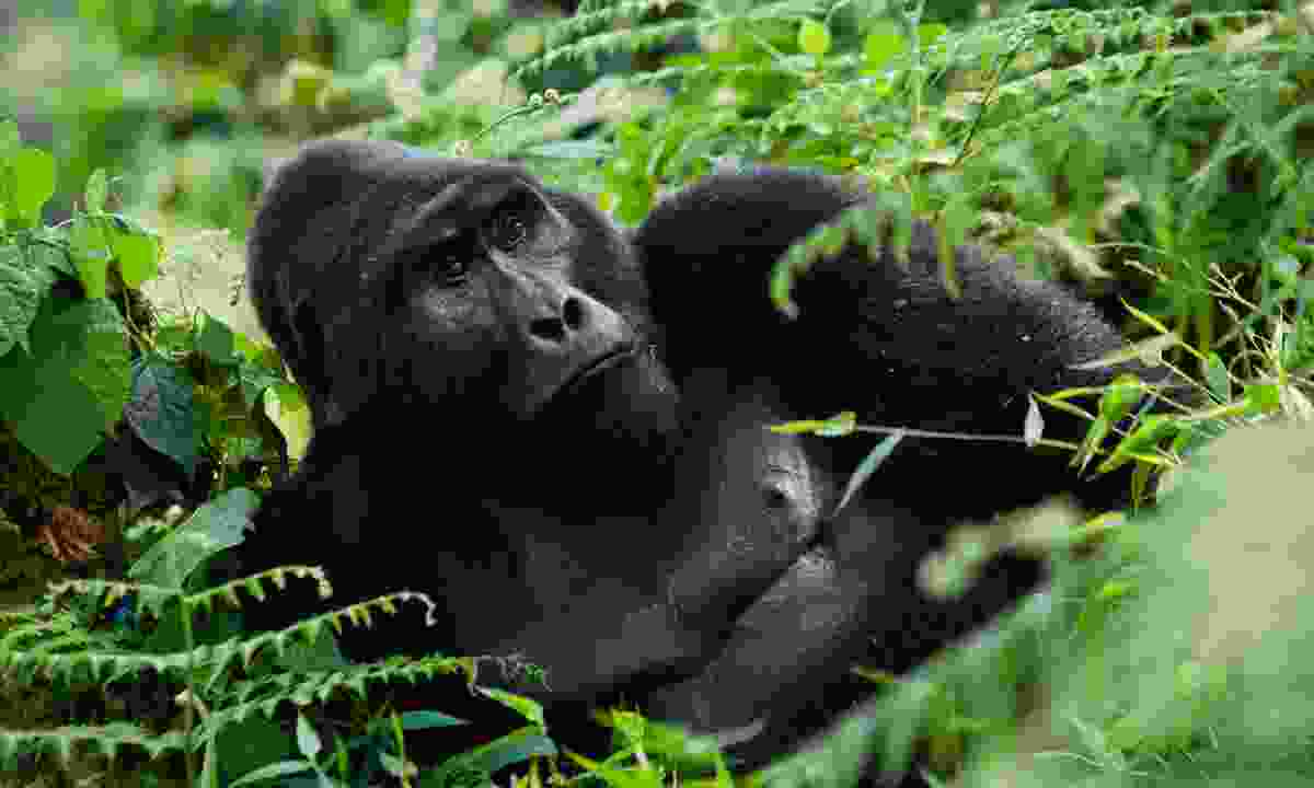 Dominant male mountain gorilla reclining in Bwindi Impenetrable Forest (Dreamstime)