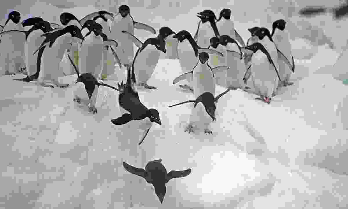 Adélie penguins dive from an iceberg into the Weddell Sea (Dreamstime)