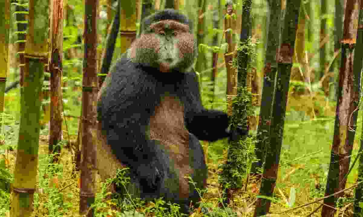 A rare golden monkey, Rwanda (Dreamstime)