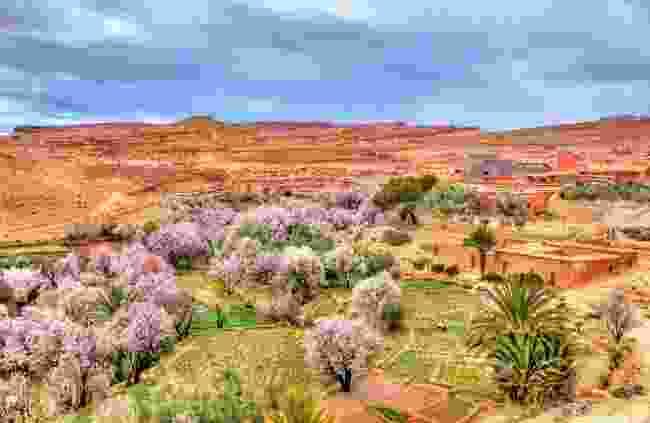 Almond blossom in Morocco (Dreamstime)