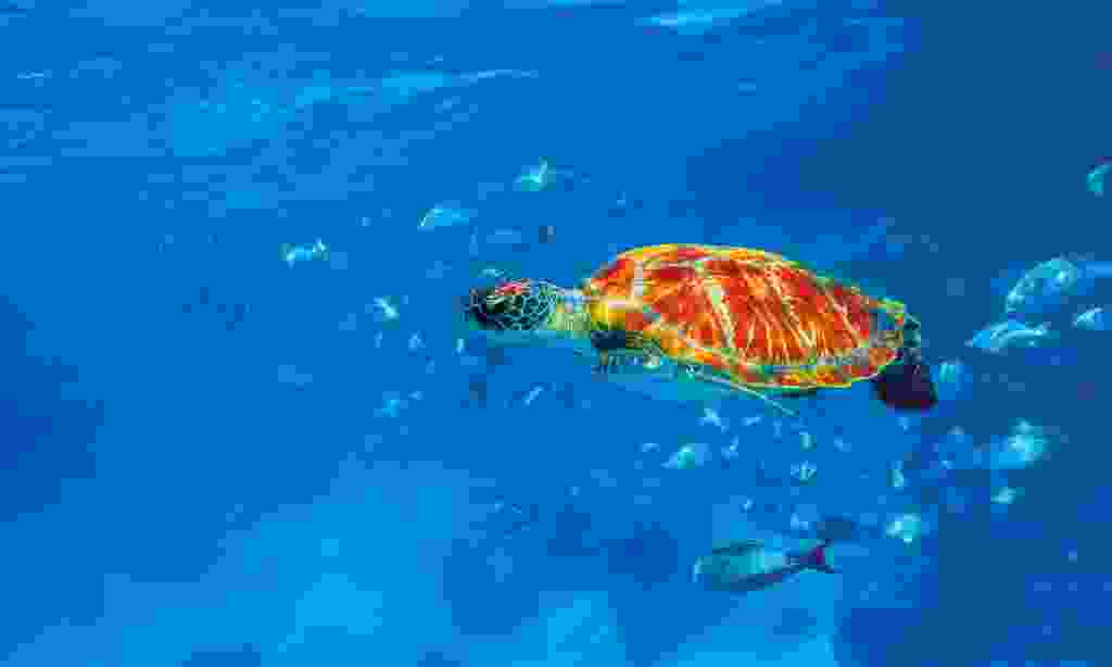 Green sea turtle in the ocean at the Similan Islands (Dreamstime)