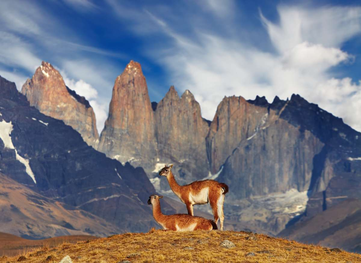 Guanaco in Torres del Paine NP, Chile (Dreamstime)