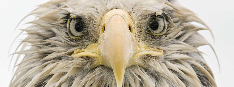Bold Eagle (Klaus Nigge)