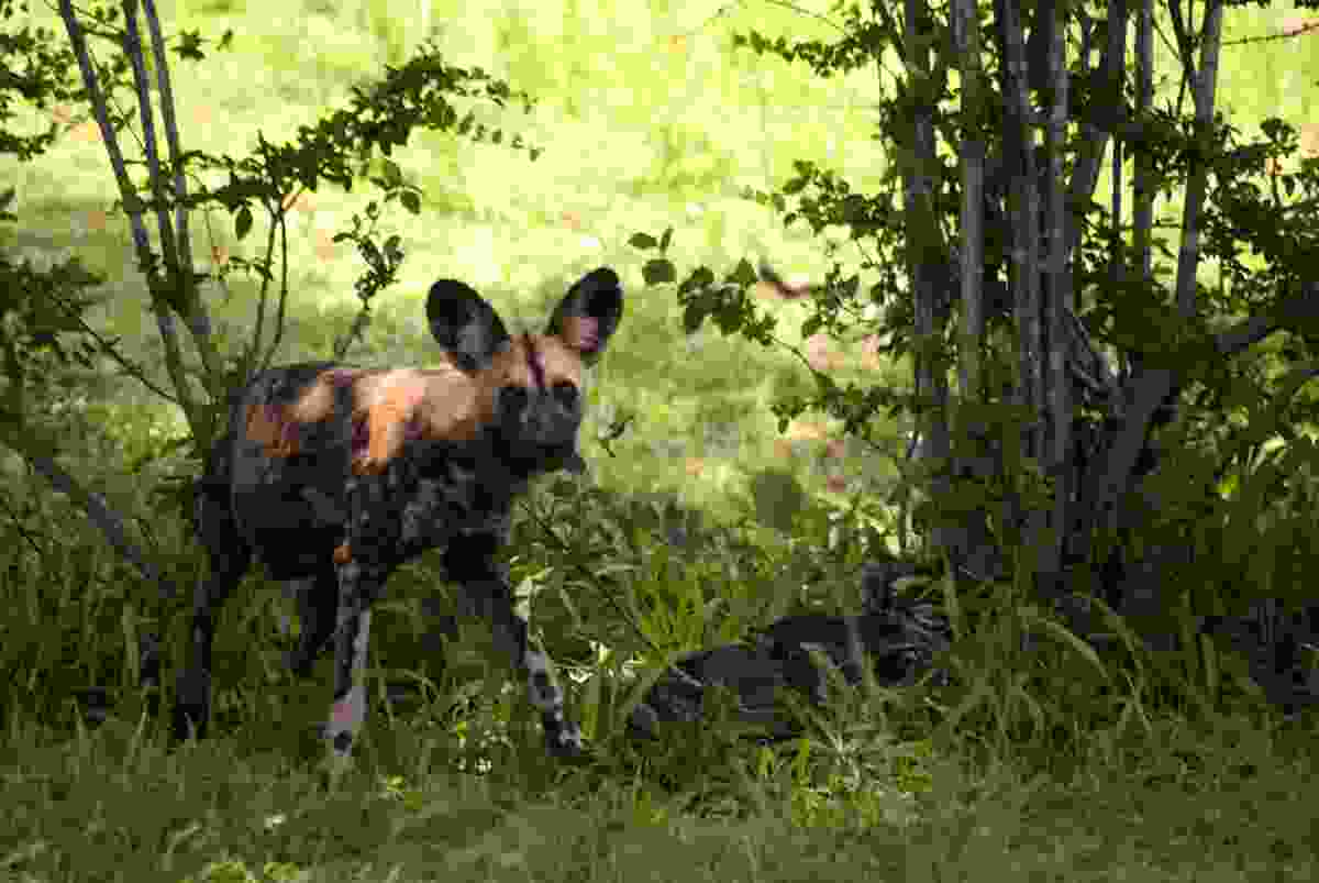 An African wild dog in the shadows in Selous, Tanzania (Dreamstime)