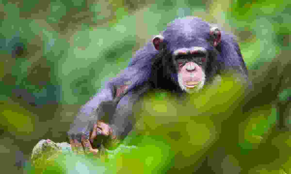 Help save the chimpanzees in Sierra Leone (Shutterstock)