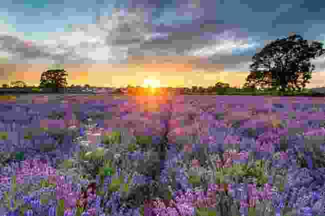 Somerset Lavender (Shutterstock)