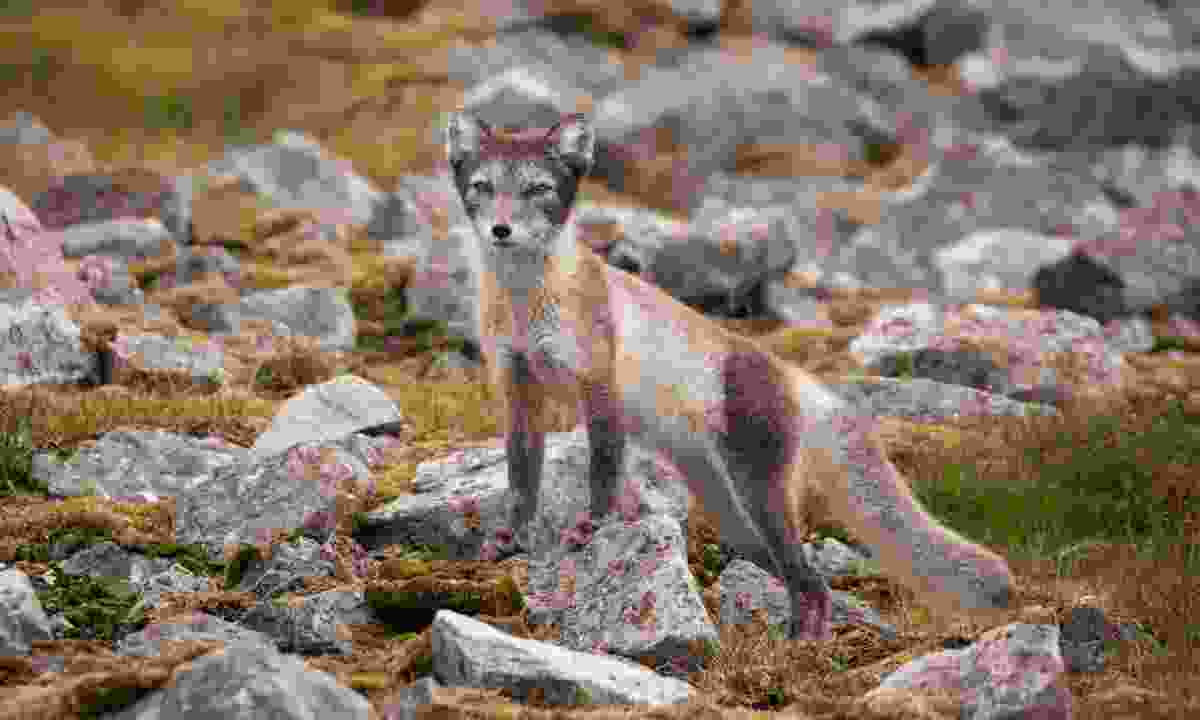 An arctic fox in Svalbard (Acacia Johnson)