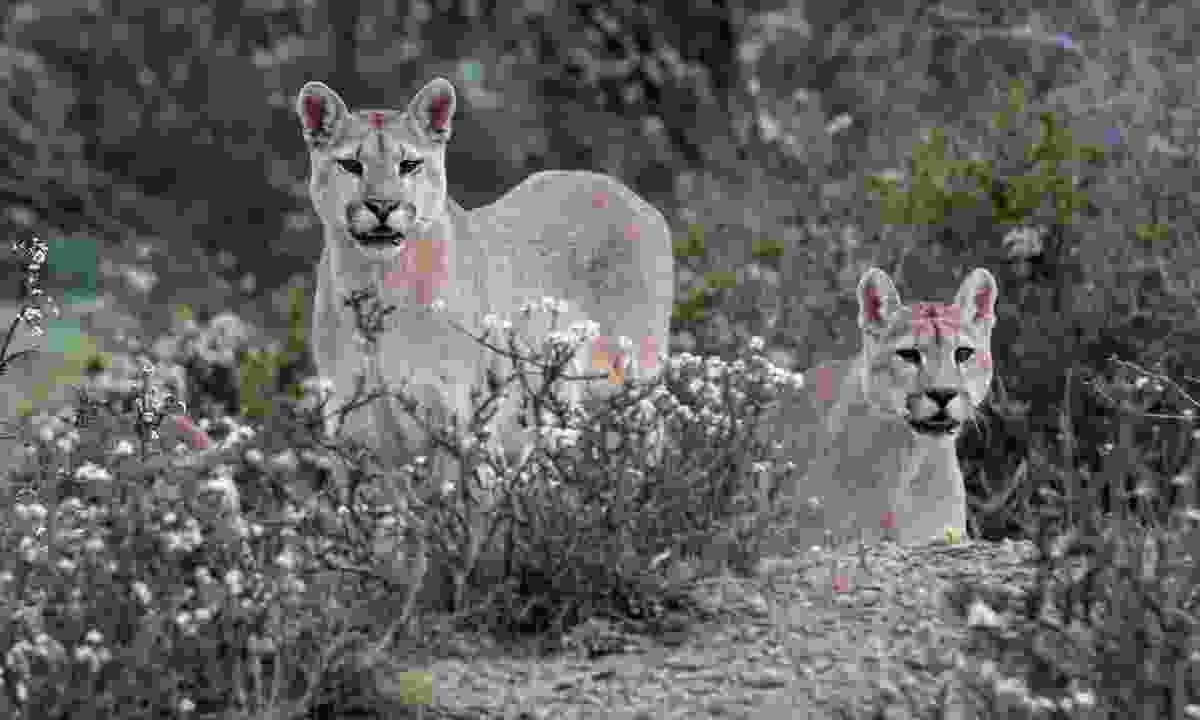 Pumas wandering through Torres del Paine National Park (Shutterstock)