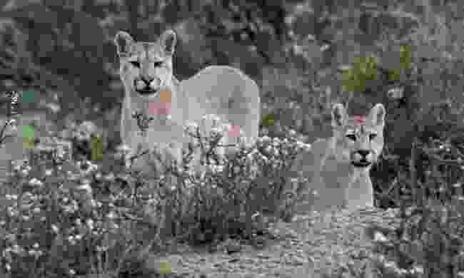 Pumas wandering through Torres del Paine National Park (Shutterstock)