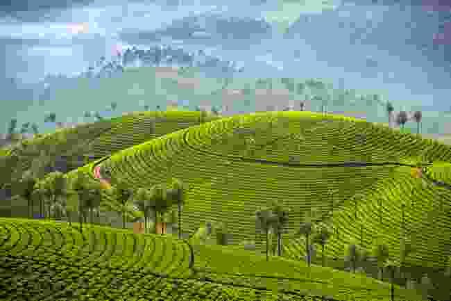 Tea plantations in Munnar (Shutterstock)