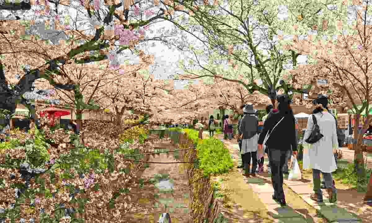 Philosopher's Walk with cherry blossoms in bloom (Dreamstime)