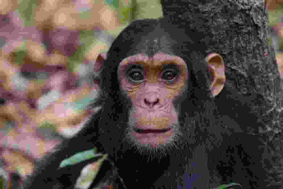 An infant chimpanzee (Dreamstime)