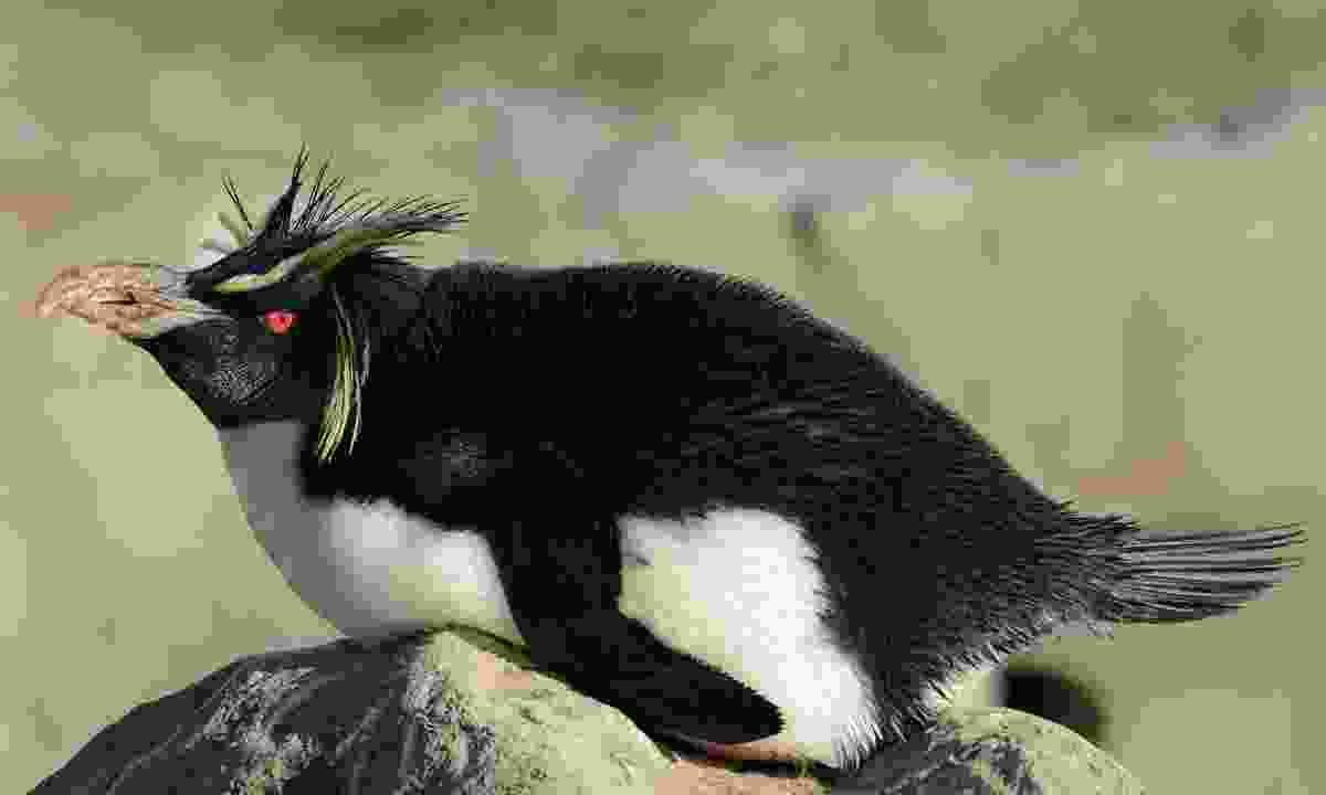 This rockhopper penguin basks in the sun to dry its feathers after swimming (Dreamstime)