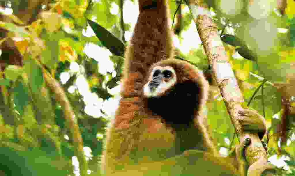 Male white-handed gibbon eating leaves in the jungle of Phuket, Thailand (Dreamstime)