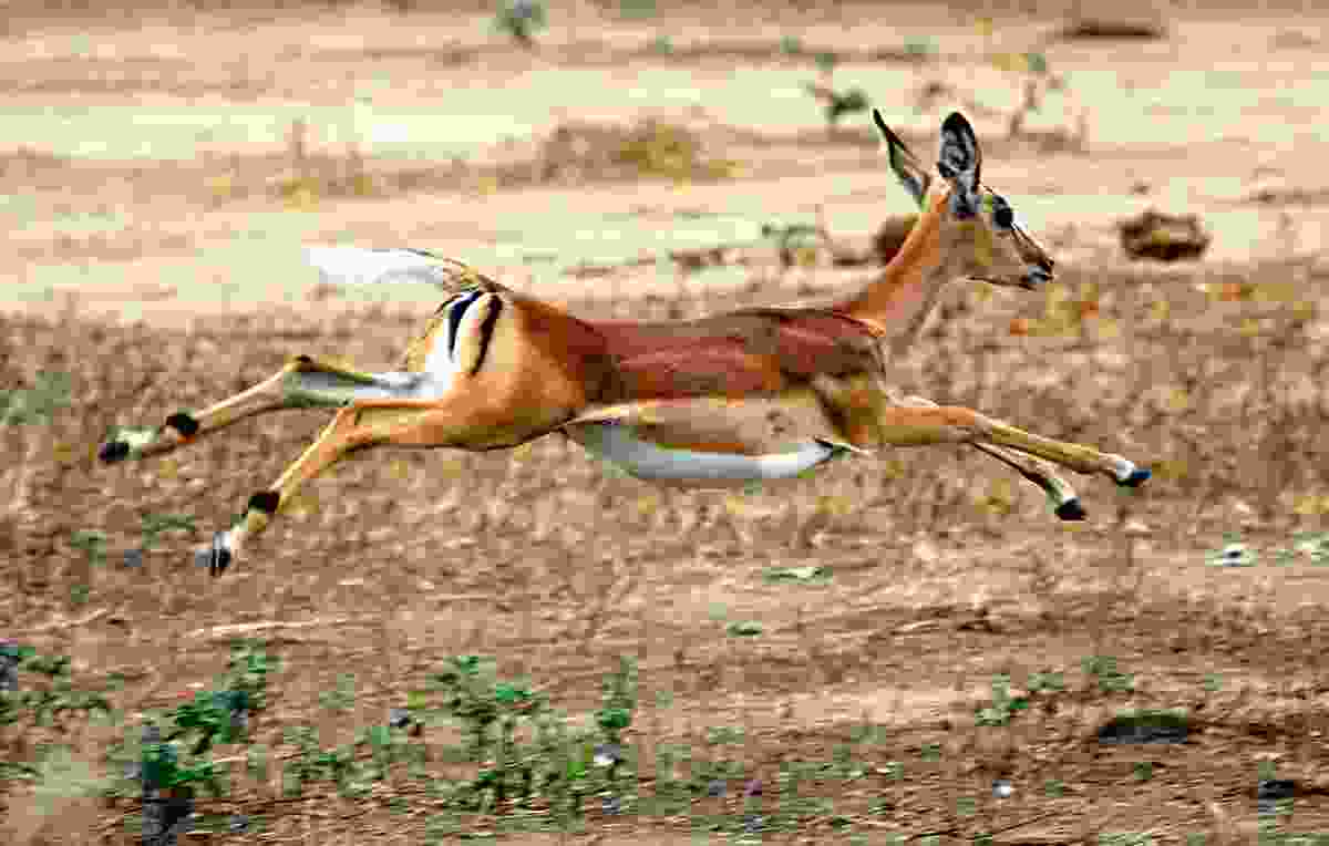 An impala skitters across the plain (Will Whitford)