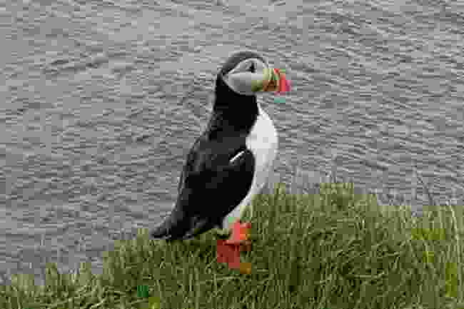 Are we allowed to spot puffins in Iceland? Here's how Mark did it  (Mark Stratton)