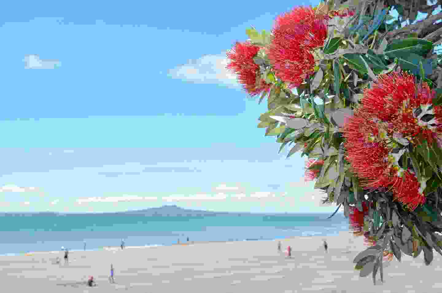 Pohutukawa blossoms on the north shore of New Zealand (Shutterstock)