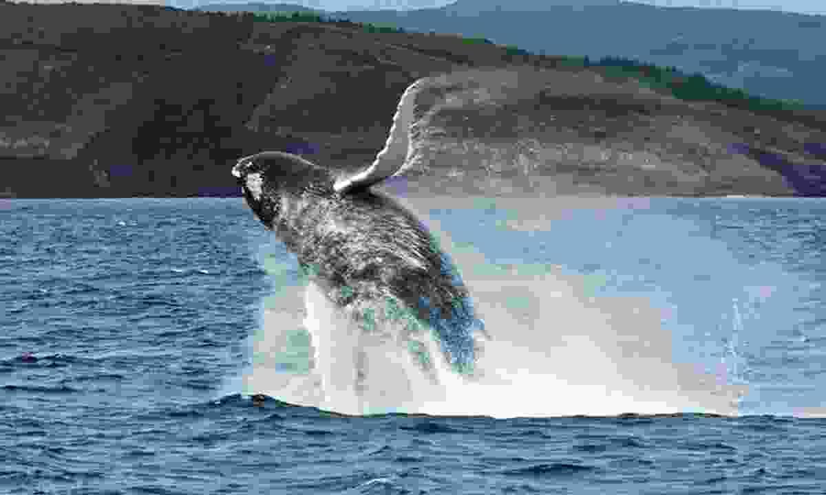 A breaching whale (Canada Sky)