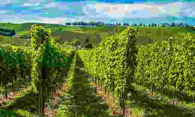 Vineyards around the Moselle River  (Sabino Parente/ LFT)