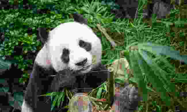 Watch pandas in China (Shutterstock)