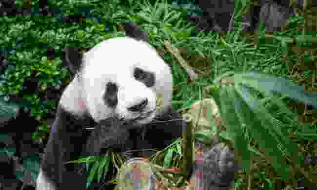 Watch pandas in China (Shutterstock)