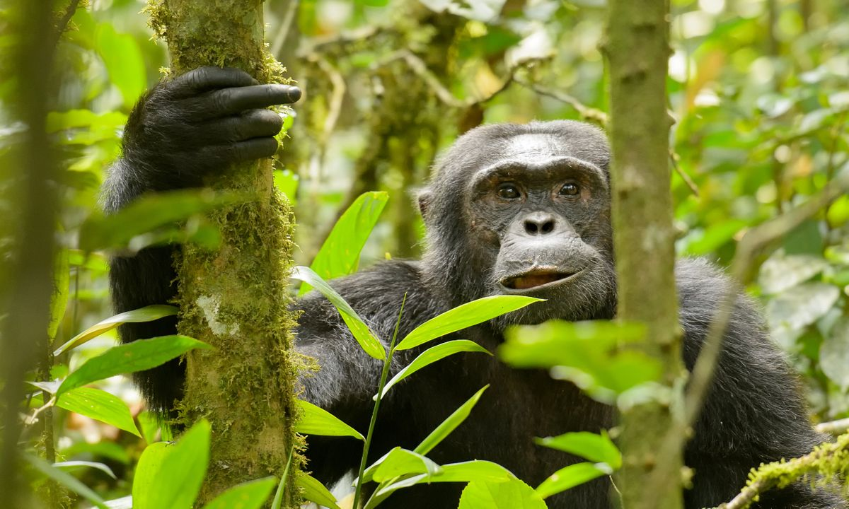 Glimpse at chimps: The top 7 places to track chimps in the wild