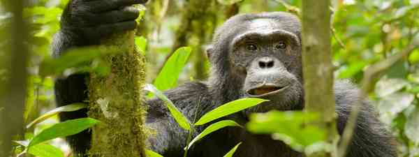 Chimp in the wild (Shutterstock)