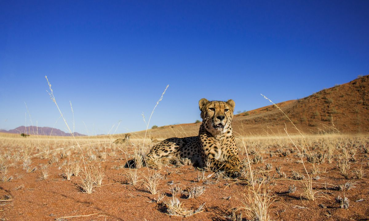 Spot cheetah at Etosha National Park or one of Namibia's carnivore conservation projects (Shutterstock)