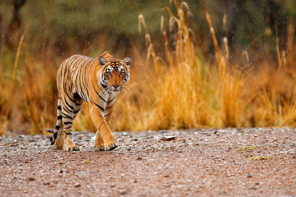 Tiger in Ranthambore NP (Dreamstime)