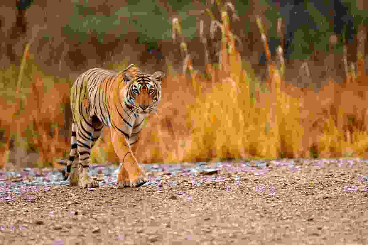 Tiger in Ranthambore NP (Dreamstime)