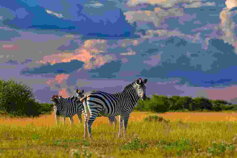 Zebras in Nxai Pan, Botswana (Shutterstock)