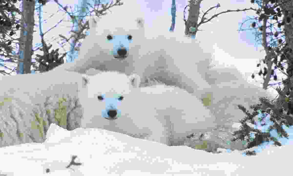 Inquisitive polar bear cubs in the Yukon (Dreamstime)