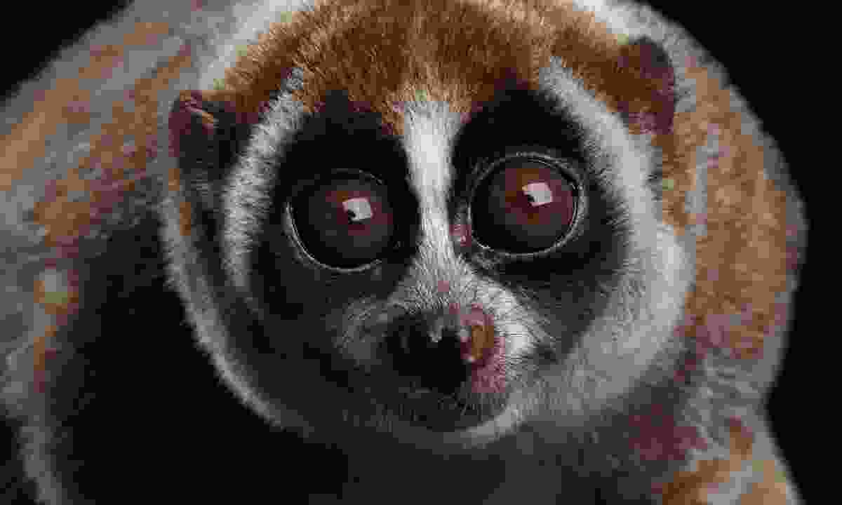 A slow loris (Dreamstime)
