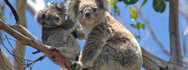 Classic koala sighting on an Australian Safari (Shutterstock)