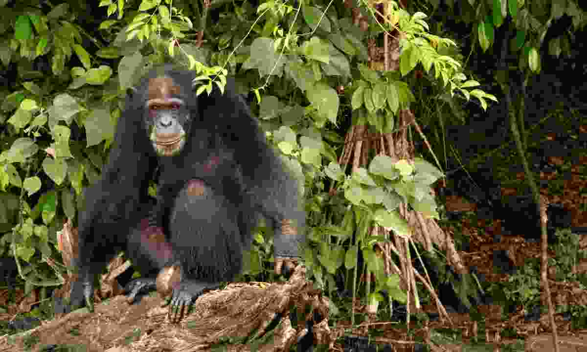 """""""Chimps are ten times stronger than me"""" (Dreamstime)"""
