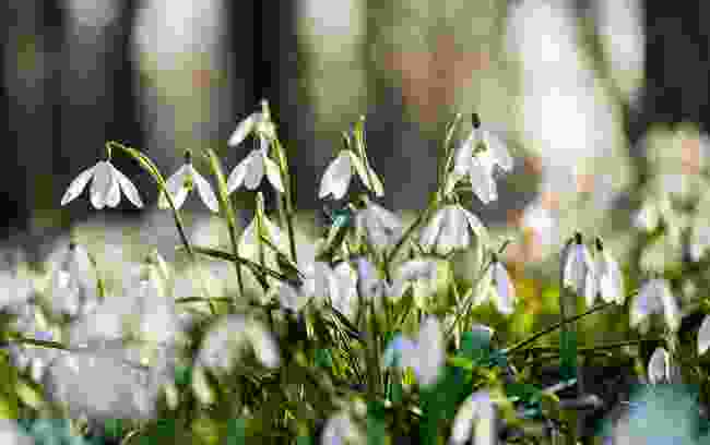 A close up of snowdrops (Dreamstime)