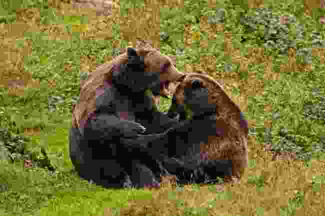 Bears come out of hibernation around the summer solstice in Finland (Dreamstime)