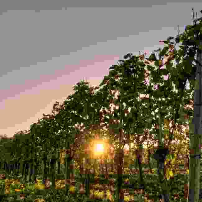 Walk between the vineyards on a winery walk  (Sabino Parente/ LFT)