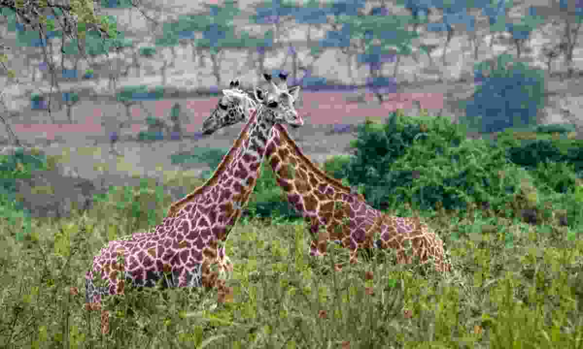 Two Giraffe in Akagera National Park (Shutterstock)